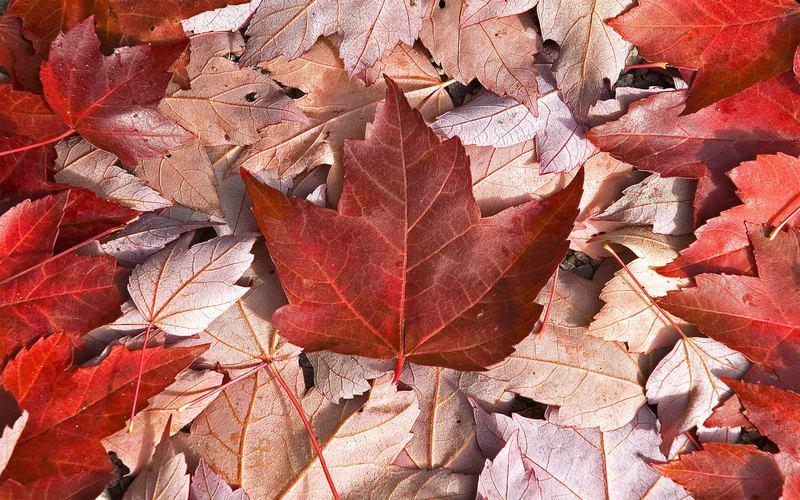 флаг канады из кленовых листьев
